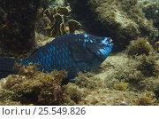 Купить «Midnight parrotfish (Scarus coelestinus) Bonaire, Netherlands Antilles, Caribbean», фото № 25549826, снято 10 июля 2020 г. (c) Nature Picture Library / Фотобанк Лори