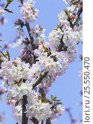 Купить «Cherry blossom {Prunus Cerasus lannesiana@cv} Kanagawa, Japan», фото № 25550470, снято 24 сентября 2018 г. (c) Nature Picture Library / Фотобанк Лори