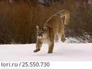 Cougar / Mountain Lion / Puma {Felis concolor} running in snow, captive, Montana, USA. Стоковое фото, фотограф Dave Watts / Nature Picture Library / Фотобанк Лори
