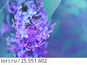 Купить «Pink lilac flowers in bloom - floral spring background», фото № 25551602, снято 17 мая 2016 г. (c) Зезелина Марина / Фотобанк Лори