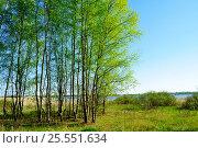Купить «Весенний пейзаж - небольшой березовый лес в солнечный весенний день», фото № 25551634, снято 5 мая 2016 г. (c) Зезелина Марина / Фотобанк Лори