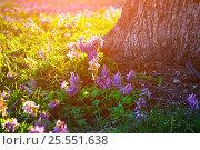 Купить «Весенний лесной пейзаж - цветущая хохлатка плотная возле лесного дерева на закате», фото № 25551638, снято 16 апреля 2016 г. (c) Зезелина Марина / Фотобанк Лори