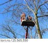 Рабочие спиливают ветки дерева. Стоковое фото, фотограф Kostin sergey aleksandrovich / Фотобанк Лори