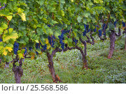 Appetizing ripe bunches of dark grapes on the vine. Стоковое фото, фотограф Семёнов Алексей / Фотобанк Лори
