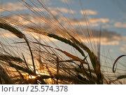 Grain field. Стоковое фото, фотограф Сергей Семенович Мальков / Фотобанк Лори