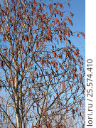 Цветет ольха серая (Alnus incana) Стоковое фото, фотограф Геннадий Окатов / Фотобанк Лори