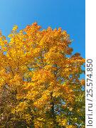 Купить «Осень. Кленовые листья на фоне синего неба», фото № 25574850, снято 19 сентября 2015 г. (c) Зобков Георгий / Фотобанк Лори