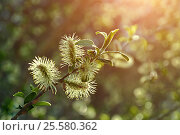 Купить «Spring natural landscape - yellow fluffy buds of willow», фото № 25580362, снято 5 мая 2016 г. (c) Зезелина Марина / Фотобанк Лори