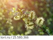 Купить «Spring background - yellow fluffy buds of willow», фото № 25580366, снято 5 мая 2016 г. (c) Зезелина Марина / Фотобанк Лори