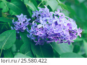 Купить «Blooming lilac flowers, spring floral background», фото № 25580422, снято 17 мая 2016 г. (c) Зезелина Марина / Фотобанк Лори