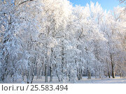 Winter trees on blue sky. Стоковое фото, фотограф Елена Ковалева / Фотобанк Лори