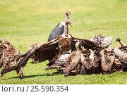 Купить «Vultures crowds on kill with marabou in background», фото № 25590354, снято 19 августа 2015 г. (c) Сергей Новиков / Фотобанк Лори