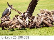 Купить «Vultures flock and marabou eating carrion, Africa», фото № 25590358, снято 19 августа 2015 г. (c) Сергей Новиков / Фотобанк Лори