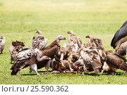 Купить «Vultures flock eating carrion at Kenyan savannah», фото № 25590362, снято 19 августа 2015 г. (c) Сергей Новиков / Фотобанк Лори