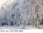 Winter snowy trees in sunlight. Стоковое фото, фотограф Елена Ковалева / Фотобанк Лори