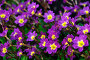 Примула Юлии - Primula juliae, цветы крупным планом, фото № 25600018, снято 5 мая 2016 г. (c) Зезелина Марина / Фотобанк Лори