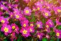 Цветы примула Юлии - Primula juliae, фото № 25600026, снято 5 мая 2016 г. (c) Зезелина Марина / Фотобанк Лори