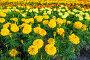 Цветущие желтые и красные цветы бархатцы в летний день, фото № 25600046, снято 17 июля 2016 г. (c) Зезелина Марина / Фотобанк Лори