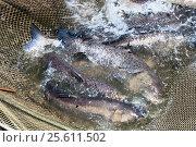 Купить «A few carp in a fishing net. Fish farms.», фото № 25611502, снято 23 июня 2016 г. (c) Андрей Радченко / Фотобанк Лори