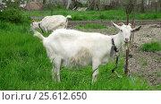 Купить «Goat on green meadow», видеоролик № 25612650, снято 3 февраля 2012 г. (c) Андрей Зык / Фотобанк Лори