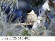 Буроголовая гаичка, или пухляк, (лат. Poecile montanus). Птица крупным среди хвои кедра зимним днем. Стоковое фото, фотограф Григорий Писоцкий / Фотобанк Лори