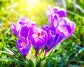 Wild crocus flowers, фото № 25618882, снято 21 марта 2009 г. (c) Sergey Borisov / Фотобанк Лори