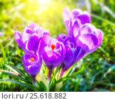 Wild crocus flowers. Стоковое фото, фотограф Sergey Borisov / Фотобанк Лори
