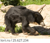 Купить «Indian Sloth bear, медведь губач, Московский зоопарк», фото № 25627234, снято 16 августа 2013 г. (c) ИВА Афонская / Фотобанк Лори