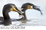 Купить «Cormorants (Phalacrocorax carbo) two with caught fish in their beaks, Hungary January», фото № 25629354, снято 16 декабря 2018 г. (c) Nature Picture Library / Фотобанк Лори