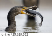 Купить «Cormorant (Phalacrocorax carbo) with caught fish in beak, Hungary January», фото № 25629362, снято 16 декабря 2018 г. (c) Nature Picture Library / Фотобанк Лори