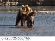 Купить «Дикая медведица учит ловить рыбу медвежат во время нереста на реке», фото № 25630166, снято 1 сентября 2016 г. (c) Николай Винокуров / Фотобанк Лори
