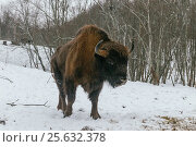 Adult European Bison in National Park (2017 год). Редакционное фото, фотограф Магадеева Елена / Фотобанк Лори