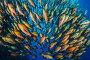 Bohar snapper (Lutjanus bohar) school at Ras Mohammed,  Shark Reef, Ras Mohammed, Sinai, Egypt. Red Sea., фото № 25634342, снято 1 марта 2017 г. (c) Nature Picture Library / Фотобанк Лори