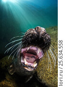 Купить «Grey seal (Halichoerus grypus) young seal gapes mouth showing teeth in playful mood, Lundy Island, Devon, UK, Bristol Channel, August», фото № 25634558, снято 14 декабря 2019 г. (c) Nature Picture Library / Фотобанк Лори