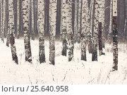 Березовый лес, зима, фон. Стоковое фото, фотограф Olga Far / Фотобанк Лори