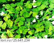 Купить «Кислица весной», фото № 25641234, снято 15 мая 2016 г. (c) Татьяна Кахилл / Фотобанк Лори