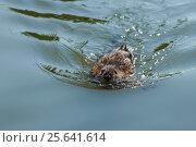 Купить «Ондатра, или мускусная крыса (лат. Ondatra zibethicus) — млекопитающее подсемейства полёвок отряда грызунов - плывет по воде», фото № 25641614, снято 12 августа 2012 г. (c) Наталья Гармашева / Фотобанк Лори