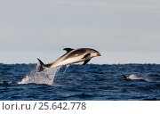 Купить «White-beaked dolphin (Lagenorhynchus albirostris) jumping above surface, Varangerfjorden, Finnmark, Norway March», фото № 25642778, снято 21 октября 2019 г. (c) Nature Picture Library / Фотобанк Лори