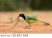 Купить «Green Jay (Cyanocorax yncas), adult with lizard prey,Rio Grande Valley, South Texas, Texas, USA. May», фото № 25651554, снято 21 августа 2018 г. (c) Nature Picture Library / Фотобанк Лори