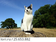 Купить «Domestic black and white cat (Felis silvestris catus) sitting on a round straw bale, Herefordshire, England, UK.», фото № 25653882, снято 17 августа 2018 г. (c) Nature Picture Library / Фотобанк Лори