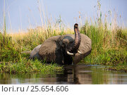 African elephant (Loxodonta africana) bull crossing a river in the Okavango Delta, Moremi Game Reserve, Botswana. Стоковое фото, фотограф Christophe Courteau / Nature Picture Library / Фотобанк Лори