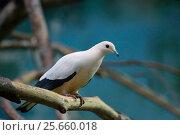 Птица двухцветный фруктовый голубь Pied imperial pigeon. Стоковое фото, фотограф Галина Савина / Фотобанк Лори
