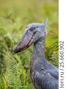 Купить «Shoebill (Balaeniceps rex) in the swamps of Mabamba, Lake Victoria, Uganda», фото № 25660902, снято 14 июля 2020 г. (c) Nature Picture Library / Фотобанк Лори