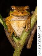 Купить «Masked tree frog (Smilisca phaeota) El Arenal region, Costa Rica.», фото № 25661074, снято 26 мая 2019 г. (c) Nature Picture Library / Фотобанк Лори