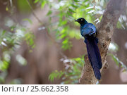 Купить «Long-tailed Glossy-Starling (Lamprotornis caudatus) perched, The Gambia, Africa, April 2016», фото № 25662358, снято 20 мая 2019 г. (c) Nature Picture Library / Фотобанк Лори