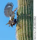 Gila woodpecker  (Melanerpes uropygialis) defending nest hole in a Saguaro cactus from Starling (Sturnus vulgaris) Arizona, USA. Стоковое фото, фотограф Jack Dykinga / Nature Picture Library / Фотобанк Лори