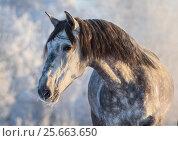 Портрет серой испанской лошади на фоне зимнего леса в золотой час. Стоковое фото, фотограф Абрамова Ксения / Фотобанк Лори