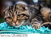 Купить «Кот породы шотландский вислоухий лежит на полотенце на выставке кошек», фото № 25666570, снято 4 марта 2017 г. (c) Николай Винокуров / Фотобанк Лори