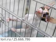 Купить «Домашний котенок породы корниш-рекс сидит в клетке на выставке кошек перед оценкой жюри», фото № 25666786, снято 5 марта 2017 г. (c) Николай Винокуров / Фотобанк Лори