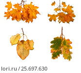 Set the autumn maple branch with leaves isolated on background. Стоковое фото, фотограф Lora Liu / Фотобанк Лори
